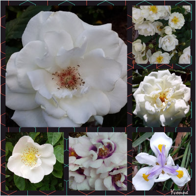 Five white roses and an iris
