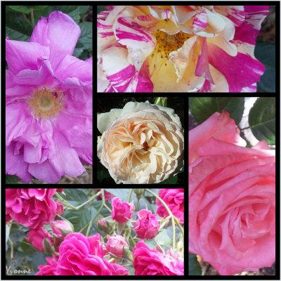 Five Roses in Pink & Cream.