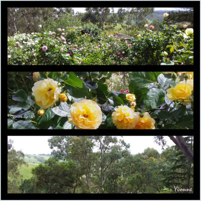 Roses and Scenery
