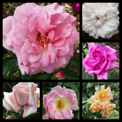 Six Roses in Spring