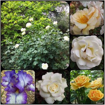 Cream & Gold roses plus an iris.
