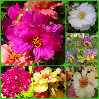 Portulacas flowering in our summer.