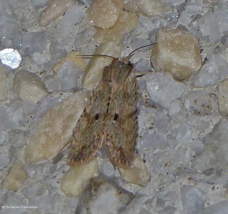 Dimorphic pinion moth (<em>Lithophane patefacta</em>), #9886