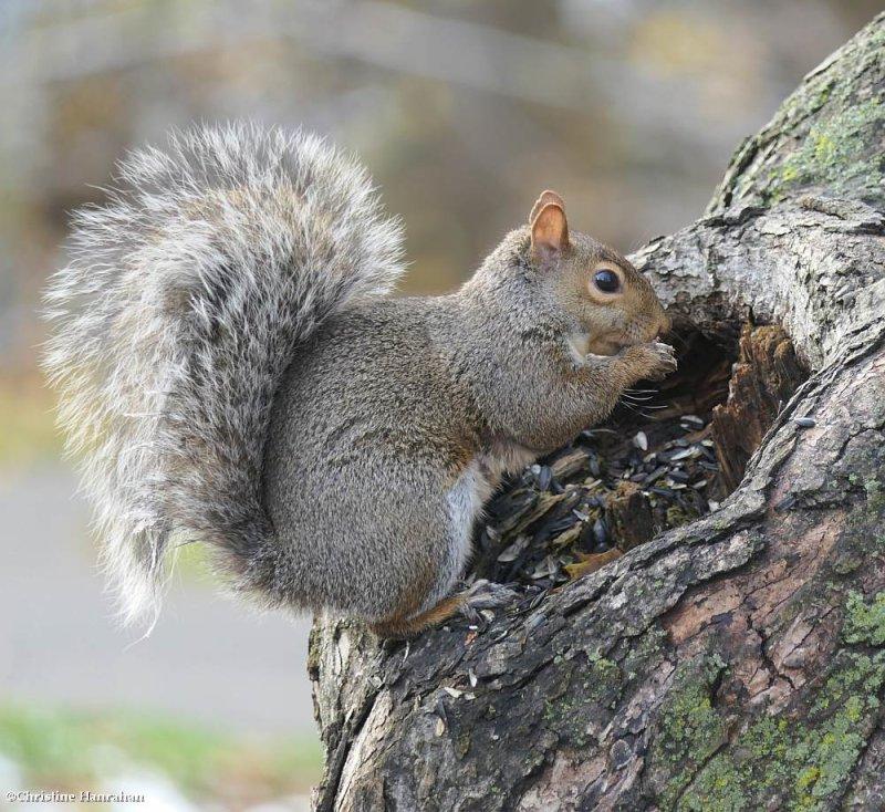 Grey squirrel (<em>Sciurus carolinensis</em>)