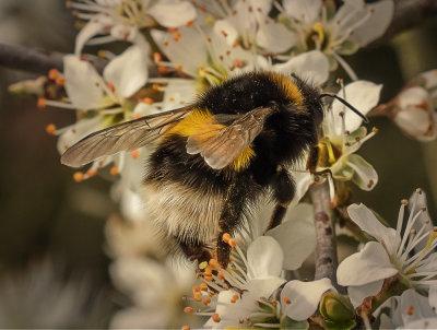 Early Bumble Bee.jpg