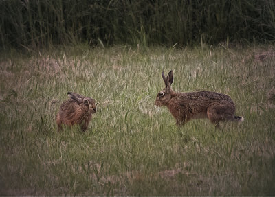 two hares.jpg