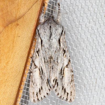 10508 (Egira crucialis)