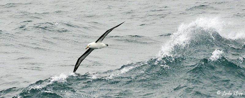 Black Browed Albatross, Southern Ocean  1
