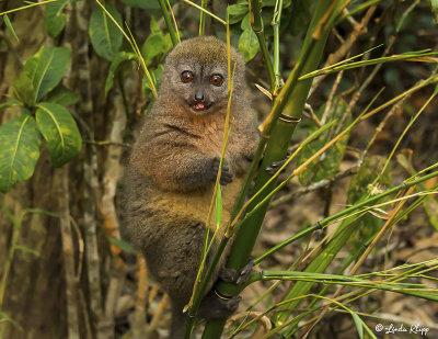 Eastern Lesser Gray Bamboo Lemur  4