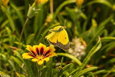 Alfalfa Caterpillar Butterfly  10