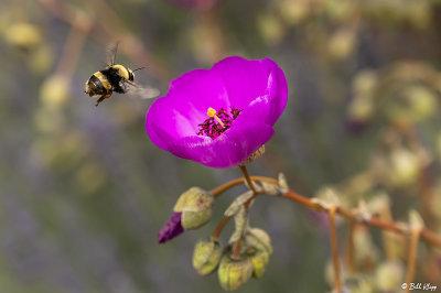 Bee on Calandrinia  3