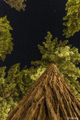 Redwood Trees, Humboldt County  2