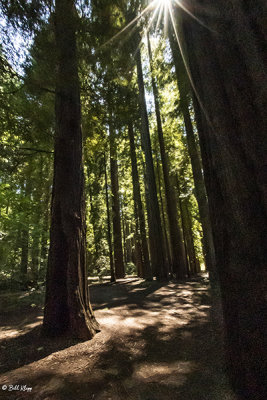 Redwood Trees, Smithe Grove  10