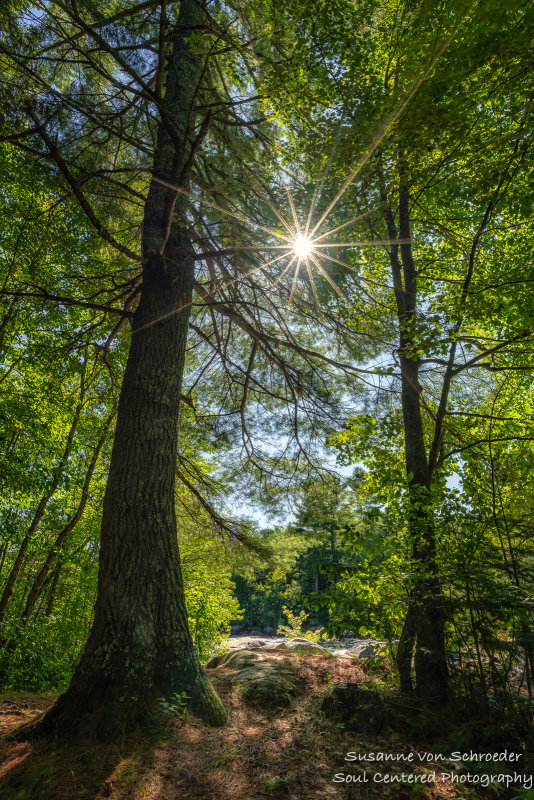 Pine tree with sunburst, at Little Falls