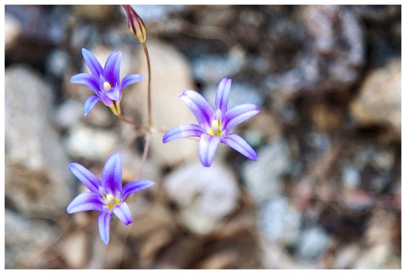 Brodiaea elegans (elegant cluster lily)