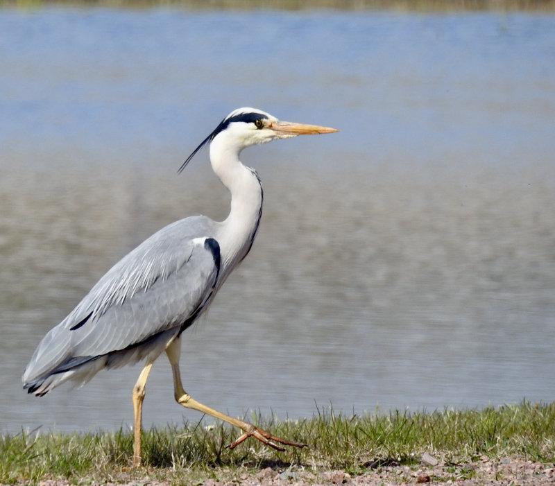 Grey Heron, Gråhäger  (Ardea cinerea)