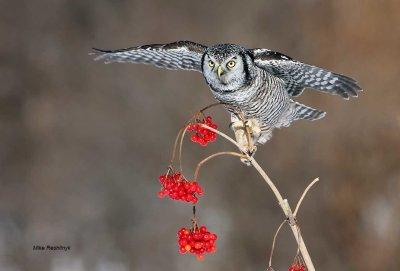 Holiday Northern Hawk-Owl