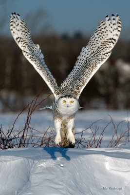 V For Victory - Snowy Owl