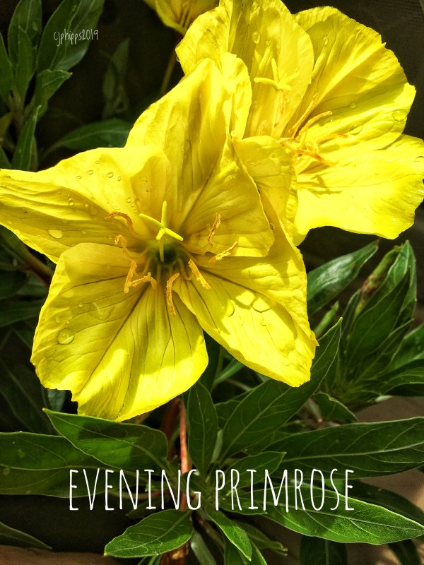 Evening Primrose — Song Lyrics
