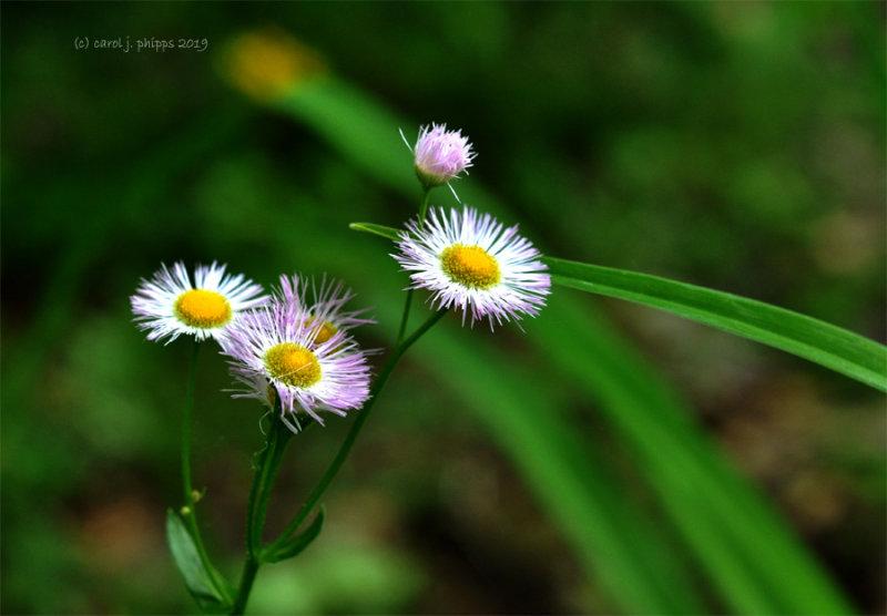 Horseweed or Fleabanes
