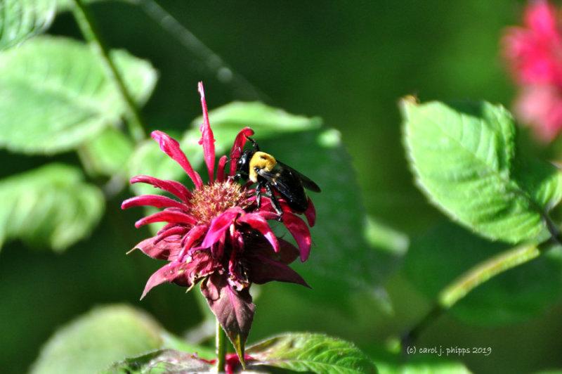 Eco-Friendly Bee Balm