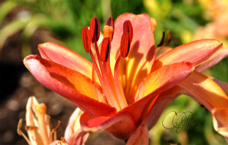 Lily from Lanthier Winery Gardens