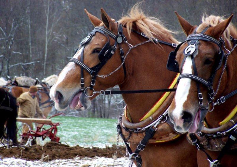 Draft Horse teams WV.
