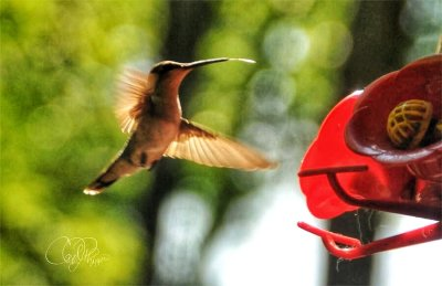 Enjoying Hummingbirds on my Deck