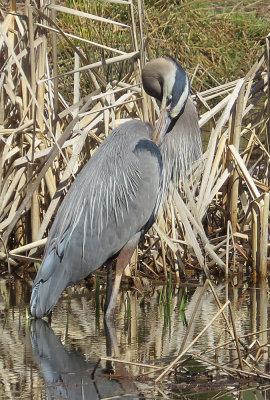 Great Blue Heron Grooming