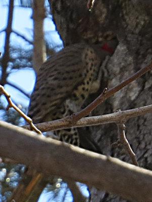 Flicker Digging in a tree