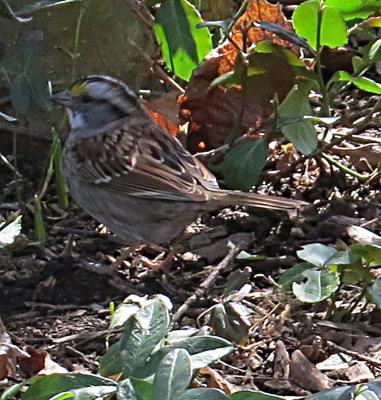 White Throated Sparrow Feeding