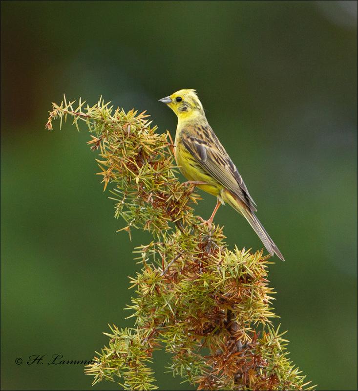 Yellowhammer - Geelgors -  Emberiza citrinella