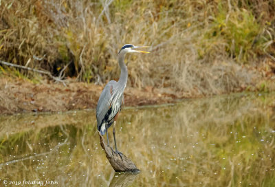 Great Blue Heron is Fitting!