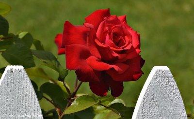 Carol's Beautiful Rose