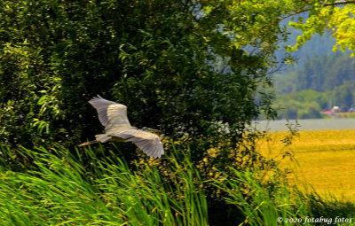 Great Blue Heron Near Fern Ridge Lake