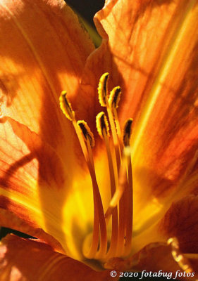 The Center of a Daylily's World