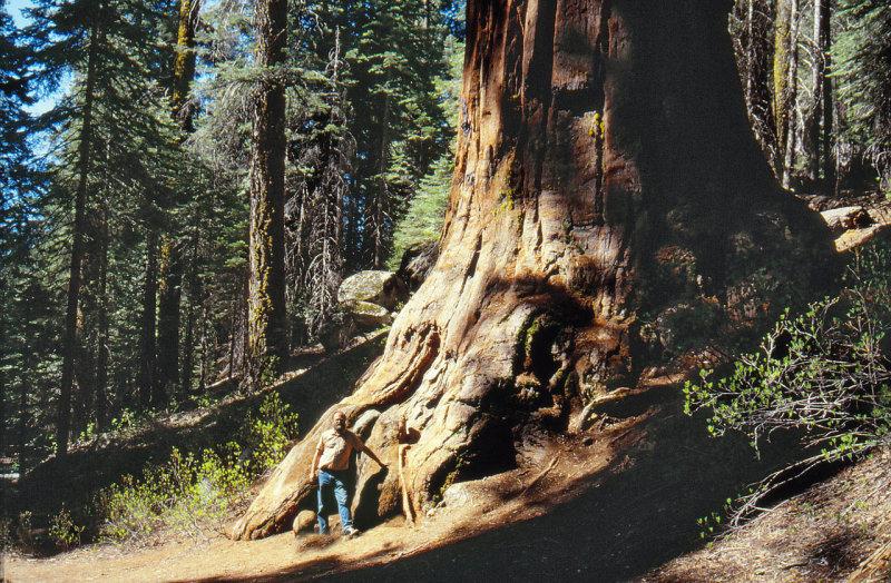Sequoia--FB