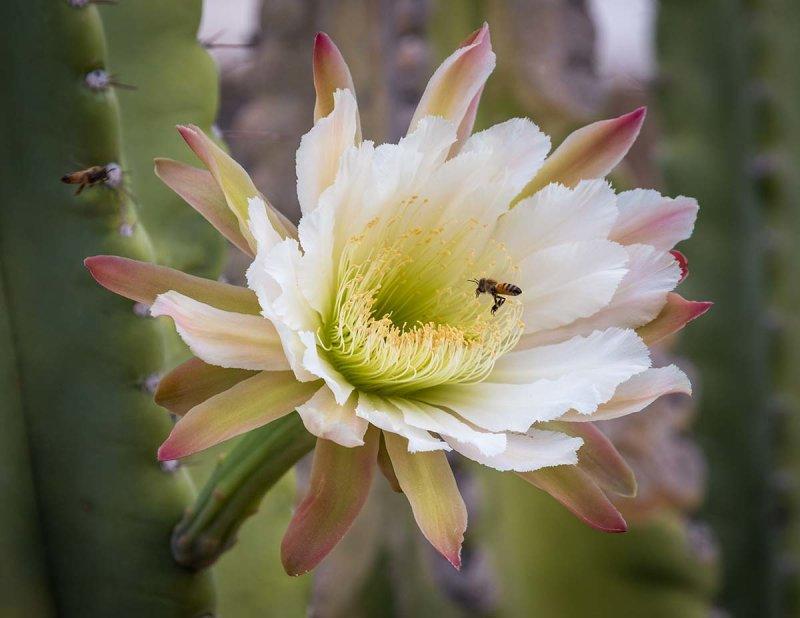 IMG_3926-Peruvian Apple Cactus-Cereus repandus