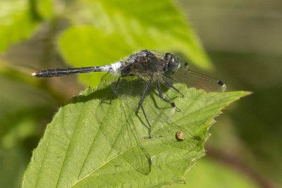 Oostelijke witsnuitlibel - leucorrhinia albifrons ♂