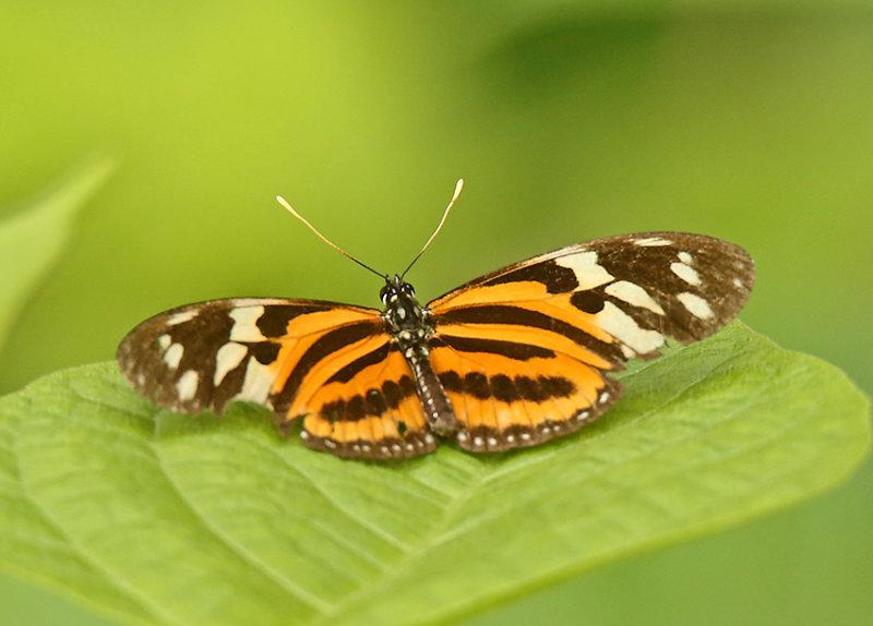 Butterfly Carpish