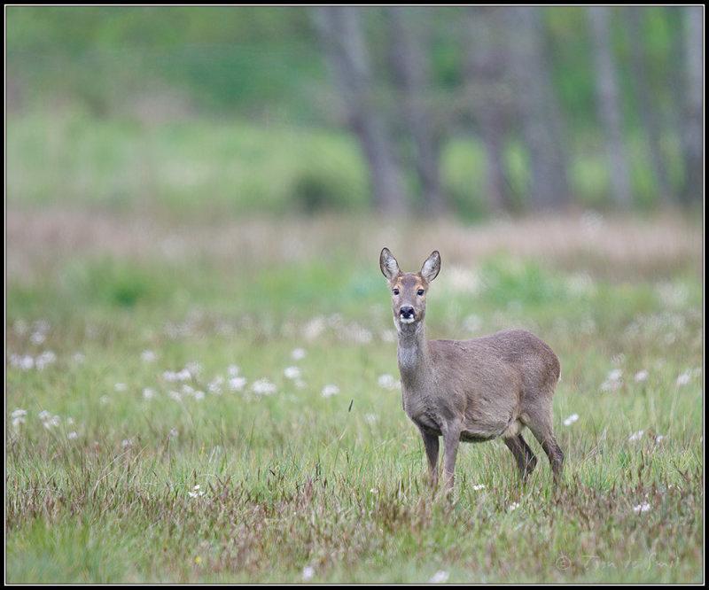 Roe Deer / Ree / Capreolus caprolus