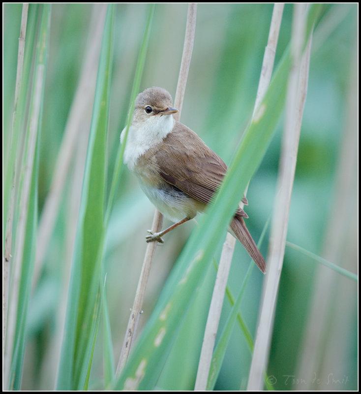 Reed Warbler / Kleine Karekiet