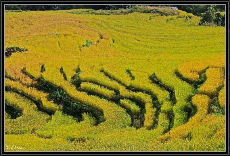 Sikkim Ricefields.