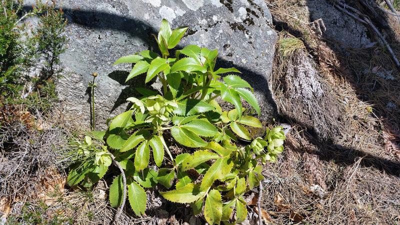 Stamjulros<br/>Corsican Hellebore<br/>Helleborus argutifolius