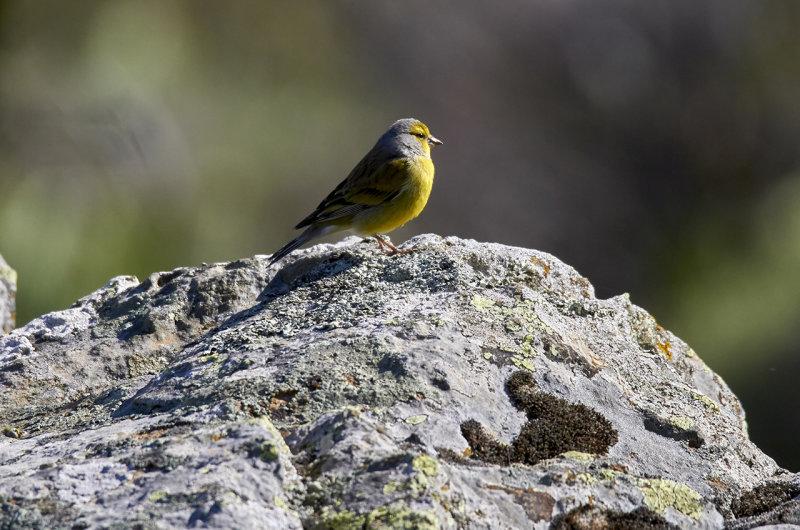 Citronsiska<br/>Citril Finch<br/>Carduelis citrinella