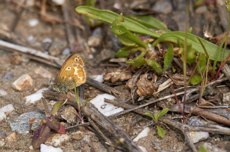 Corsican Heath<br/>Coenonympha corinna