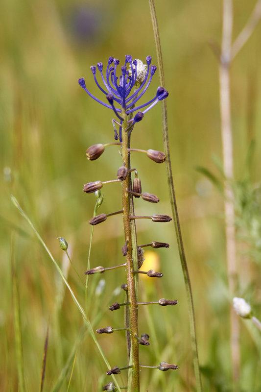 Fjäderhyacint<br/>Tassel Grape Hyacinth<br/>Muscari comosum