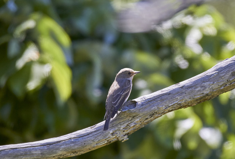 Grå flugsnappare<br/>Spotted Flycatcher<br/>Muscicapa striata