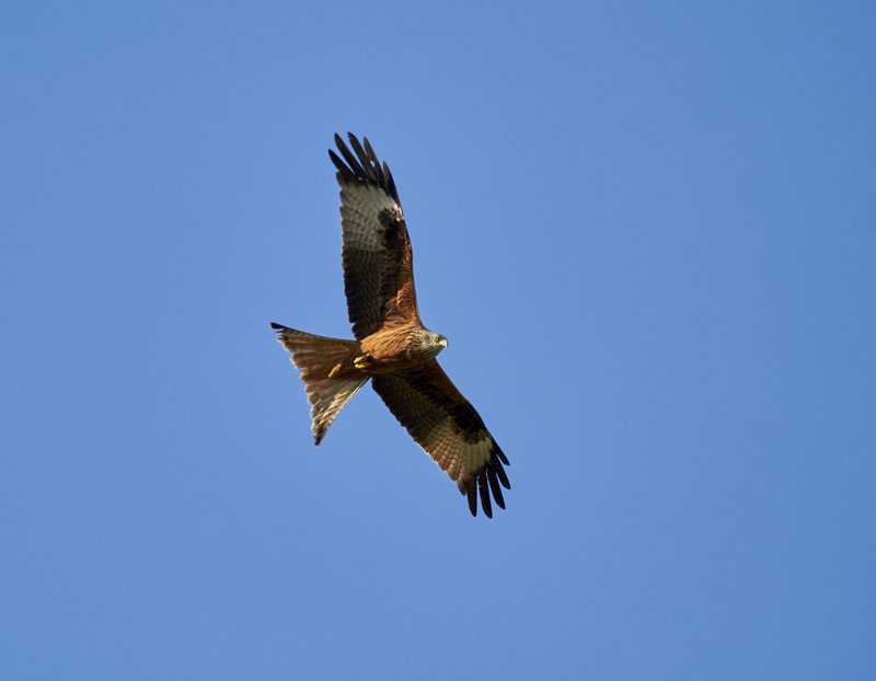 Röd glada<br/>Red Kite<br/>Milvus milvus