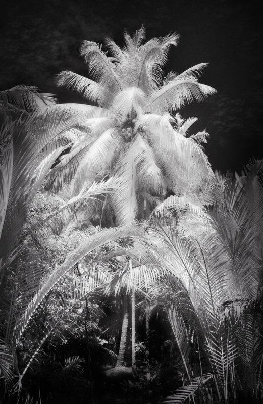 Coconut Tree Vietnam.JPG